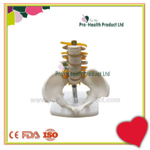 Human Small Size Sacral Model Medical 5 Lumbar Vertebra Spine Pelvic Model pictures & photos