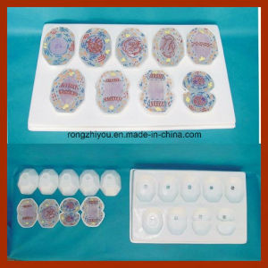Animal Cell Mitosis Model 9 PCS Plactis Model