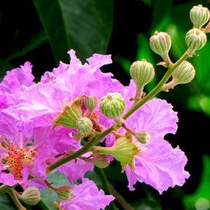 Banaba Leaf Extract Corosolic Acid pictures & photos