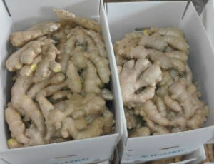 Qualified Fresh Ginger by European Market pictures & photos