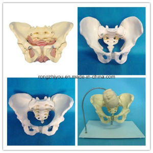 Life Size Male Adult Pelvis Anatomical Model pictures & photos