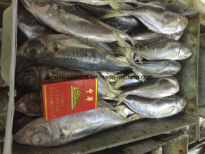 Chinese 20cm+ Frozen Horse Mackerel with Lowest Price pictures & photos