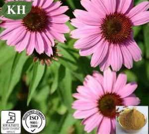 100% Natural Echinacea Purpurea Extract (high quality, fairest price) pictures & photos