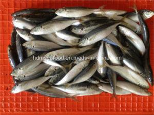 W/R Frozen Horse Mackerel Fish pictures & photos
