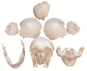 22 Parts Human Skull Model pictures & photos