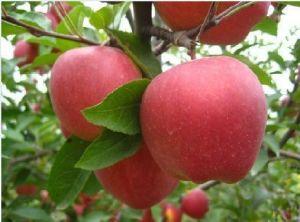 Gala Apple (A002)