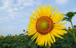 New Crop 2015 Chinese Sunflower Seed 363 pictures & photos