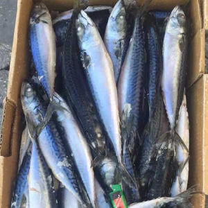 Frozen Pacific Mackerel White Belly 150-200g pictures & photos