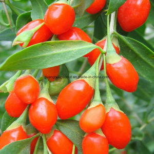 Dried Goji Berry with High Quality From China pictures & photos