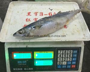 200-300g Scomber Japonicus Frozen Mackerel pictures & photos