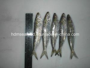 Best Frozen Sardine Fish pictures & photos