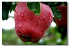 Huaniu Apple - 13