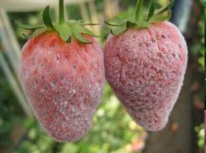 Botanical Pesticide Against Powdery Mildew on Berries pictures & photos
