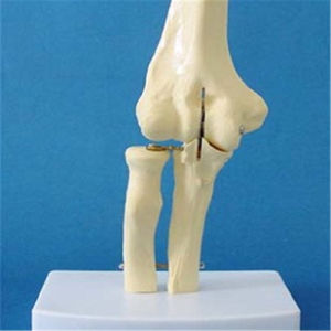 Human Educational Medical Joint Cheap Skeleton Model (R020922) pictures & photos