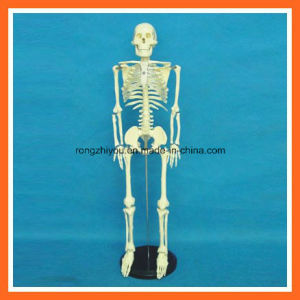 85cm Tall, Human Skeleton Medical Teaching Anatomy Model pictures & photos