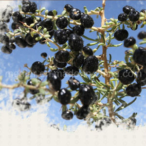 Medlar GMP Manufacture Sample Free Dried Black Wolfberry pictures & photos