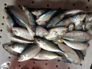 Frozen, Whole Big Eyes Horse Mackerel of Fish pictures & photos