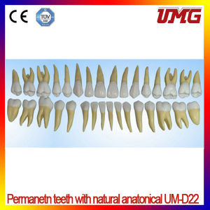 Dental Supply 2 Colored Permanetn Teeth Model with Natural Anatonical pictures & photos