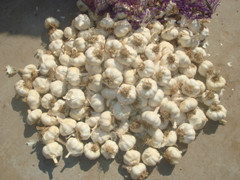 Large Stock Garlic for New Crop