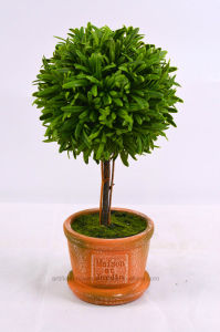 Emulation Rosemary Tree Bonsai in Paper Mache Pot pictures & photos
