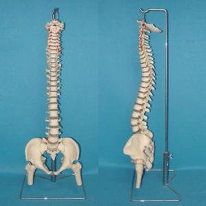 Medical Teaching Human Spine Vertebra Skeleton Anatomy Model (R020711) pictures & photos