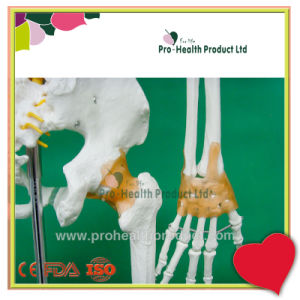With Ligament Human Anatomy Skeleton 3D Model pictures & photos