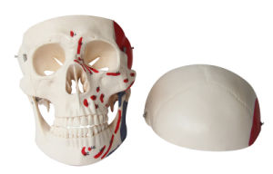 Natural Size Muscular Skull Model, 3 Parts pictures & photos