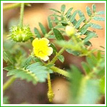 Tribulus Terrestris Extract pictures & photos