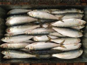 Frozen Sardine Fish for Bait pictures & photos