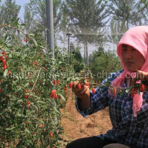 Medlar USDA Nof Organic Goji Berry pictures & photos