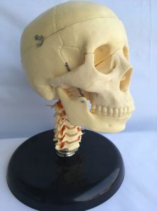 Natural Skull Cervical with Full Dentition pictures & photos