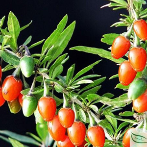 Wolfberry Extract, Goji Extract