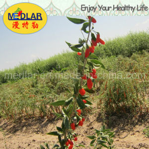 Medlar USDA Nof Organic Goji Berry