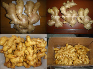 Fresh Ginger & Air Dry Organic Ginger with EU Standard pictures & photos