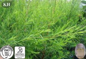 Natural Essential Oil, 35%, 41% Terpinen-4-Ol Tea Tree Oil pictures & photos