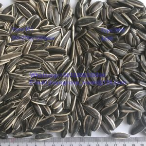 Confectionary Grade 601 Type Raw Sunflower Kernel pictures & photos