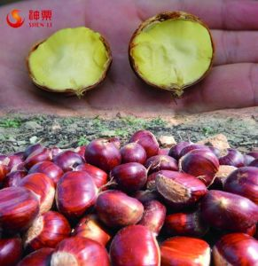 New Crop Fresh Chestnuts---Kuancheng Chestnuts