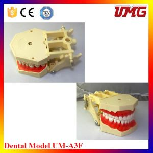 Small F Tooth Model with 32 Teeth pictures & photos
