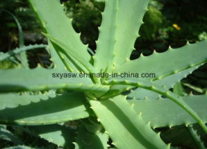 Natural Aloe Vera Plant Extract pictures & photos