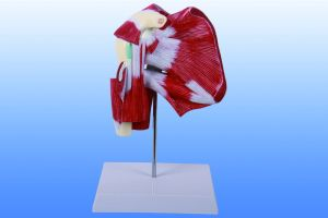 Model of Shoulder with Deep Muscle, 1part pictures & photos