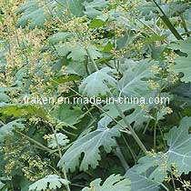Macleaya Cordata Extract & Celandine Extract pictures & photos
