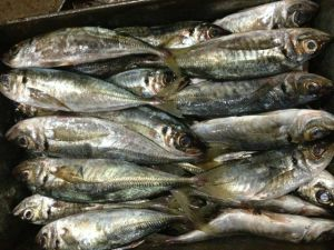 Frozen Horse Mackerel (Tracburus Japonicus) pictures & photos