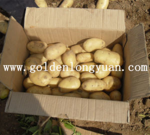Fresh Holland Potato Good Quality pictures & photos