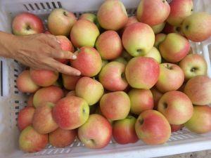 Shannxi Gala Apple pictures & photos