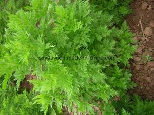 Natural Sweet Wormwood Extract 99% Artemisinin pictures & photos