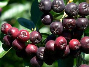 Black Chokeberry Extract/ Aronia Melanocarpa Extract5%-25%Anthocyanidins pictures & photos