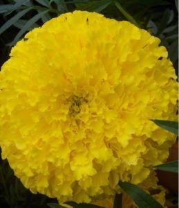 Marigold Seed (F1)