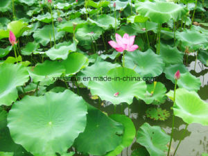 Factory Natural Lotus Leaf 10: 1 Extract Powder/ Nuciferine pictures & photos