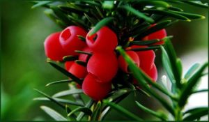 Pure Natural Taxus Extract Paclitaxel 33069-62-4 Manufacturer pictures & photos
