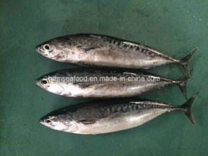 New Landing Fish Bonito pictures & photos